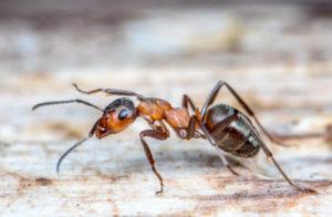 ants - termite management buderim - termite management maroochydore