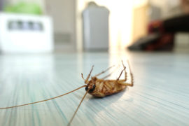 Dead cockroach - pest control nambour - pest control noosa