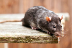 Pet rat - Unknown health risks from infestation - pest treatment Sunshine Coast