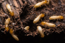 termites - Dead cockroach - pest control nambour - pest control noosa