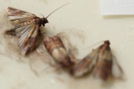 Pantry Moths - pest control tewantin