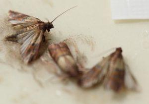 Pantry Moths - pest control tewantin
