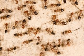 how to get rid of ants naturallly - ants control sunshine coast
