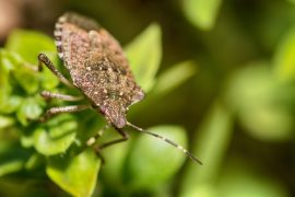 bug control sunshine coast - get rid of stink bugs - pest management sunshine coast