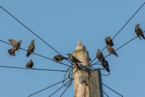 birds removal sunshine coast - birds control caloundra cooroy nambour noosa - birds management mooloolaba maroochydore