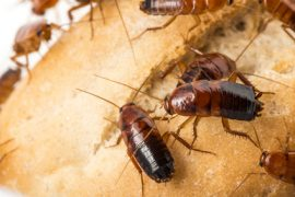 cockroach pest control sunshine coast - cockroach removal and management cooroy nambour noosa caloundra