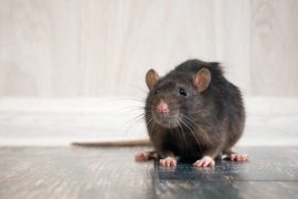 rodents control sunshine coast - mice and rats removal management cooroy maroochydore nambour