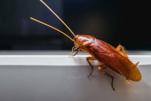 cockroach pest control sunshine coast - cockroach extermination services