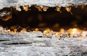 termite management sunshine coast - termite inspection sunshine coast - termite control and removal services