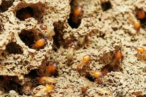 termite barrier systems in sunshine coast nambour coolum buderim noosa caloundra qld - termite barrier specialists
