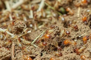 effective termite management systems in sunshine coast buderim noosa caloundra qld - termite management and inspection specialists