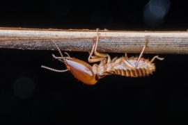 termites queensland - termite treatment inspections sunshine coast - termite barrier and management systems