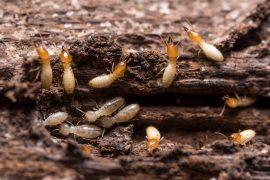 best termite treatment sunshine coast - how to treat active termites