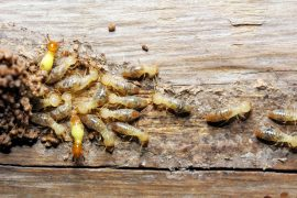 sunshine coast termite treatment management inspections - pest removal and control - best termite barrier systems