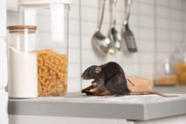 insect pest control sunshine coast - rat mice rodent control - pest treatment and management services